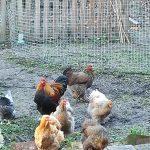 Nos poules et notre coq