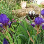 Iris et la fontaine